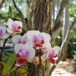 Phalaenopsis:  The Best Orchids for Your Southwest Florida Home