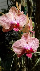orchids - Upclose phalaenopsis