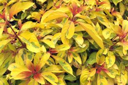 Light Up Your Landscape with Lime Sizzler™ Firebush