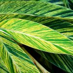 Variegated Shell Ginger Is Made for the Shade