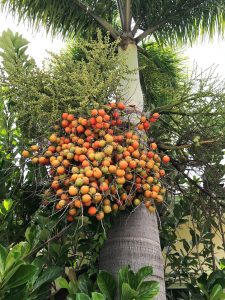 foxtail palm seed pods