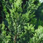 Spartan Juniper: Fast-growing Hedge for Sarasota