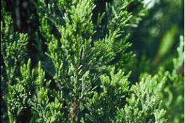 Spartan Juniper: Fast-growing Hedge for Sarasota