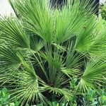 European Fan Palms Are a Fan Favorite in Florida