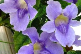 Purple-flowering Plants and Trees for Southwest Florida