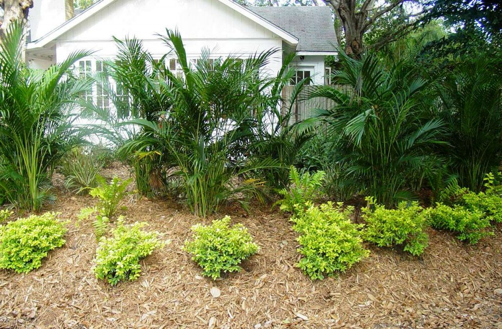 Gold Mound Duranta a good shrub choice for southwest Florida.