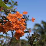 Orange Geiger A Splendid Coastal Tree for Florida Beachfront Homes