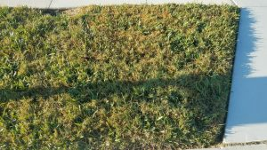 carpetgrass and bermuda grass intrusion