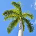 Cuban Royal Palms Grace Sarasota & Venice with Style