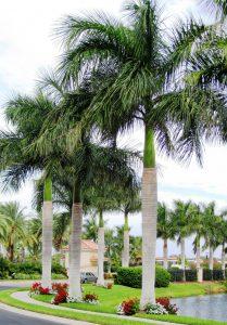 Cuban Royal palms at a Florida community residence