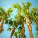 Florida Cabbage Palms Deserve Your Respect