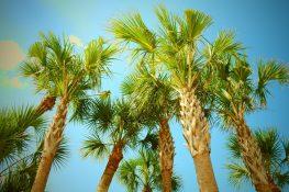 Florida Cabbage Palms Deserve Your Respect