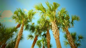 Florida cabbage palms