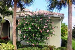 Anderson Crepe Hibiscus Tree Impresses in Easter Pink
