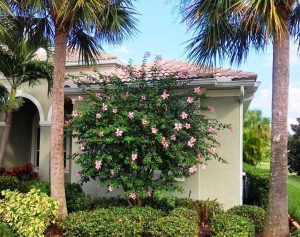 Anderson Crepe Hibiscus Tree Impresses In Easter Pink Artistree