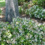 Indian Hawthorn Isn't Your Only Shrub Choice
