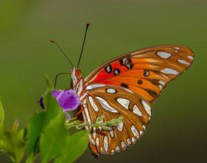 Butterflies love golden dewdrops