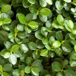 Emerald Blanket Carissa A Top Groundcover Shrub in Florida