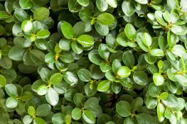 Emerald Blanket Carissa A Top Groundcover Shrub in Florida