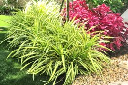 Variegated Dwarf Pandanus Earns Stripes in Southwest Florida