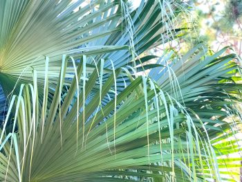 Southwest Florida Ribbon Palms a Gift from Mother Nature
