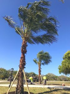 Florida ribbon palms installation