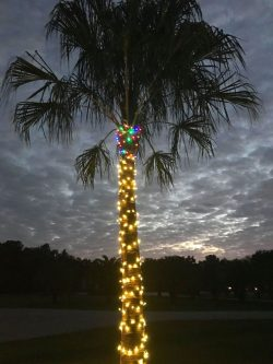 Ribbon Palm with Christmas lights