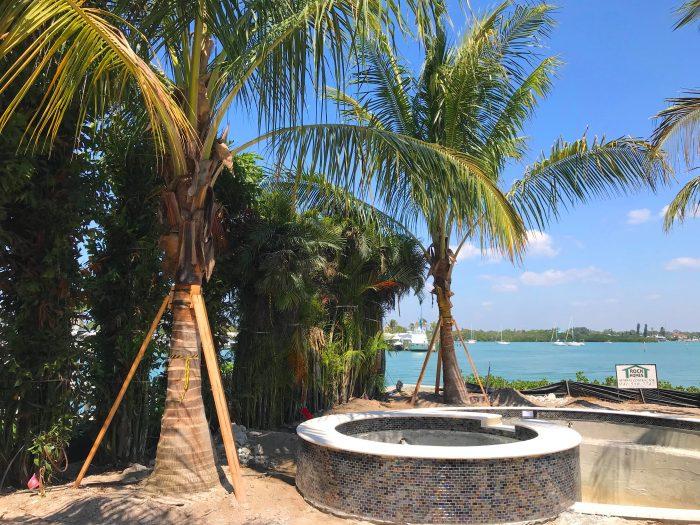 Maypan palms in Florida