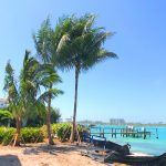 Maypan coconut palms on Siesta Key in Sarasota, Florida.