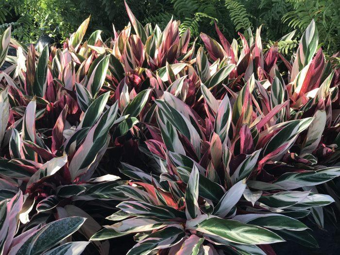 Florida Stromanthe tropical plants