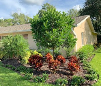 Japanese Fern Trees Overlooked in Southwest Florida