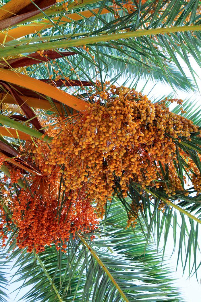 Florida pindo palms