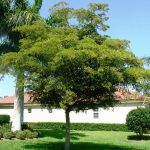 Shady Lady Black Olive Tree