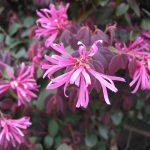 Loropetalum shrubs