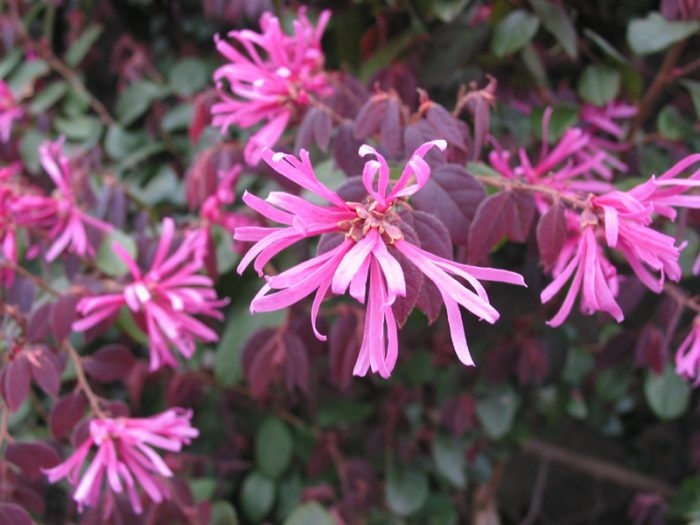 Loropetalum shrubs