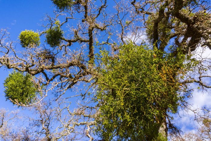 Florida mistletoe infestation