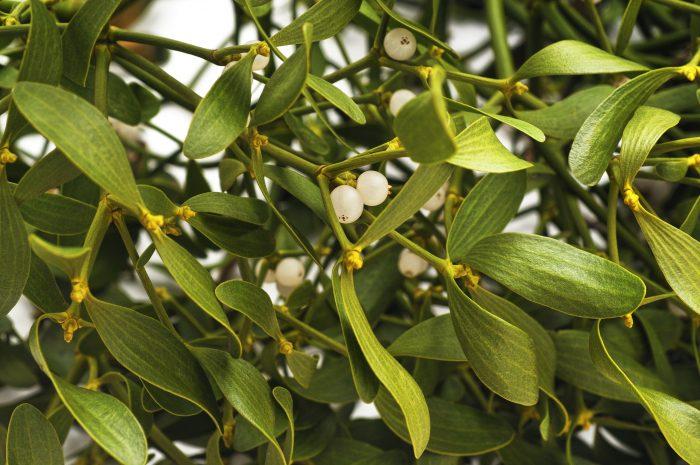 Florida mistletoe berries attract birds