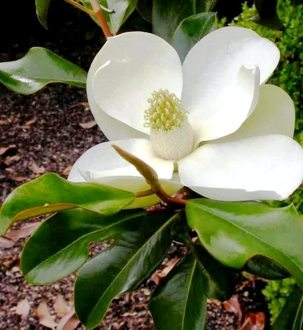 Fragrant magnolia blooms