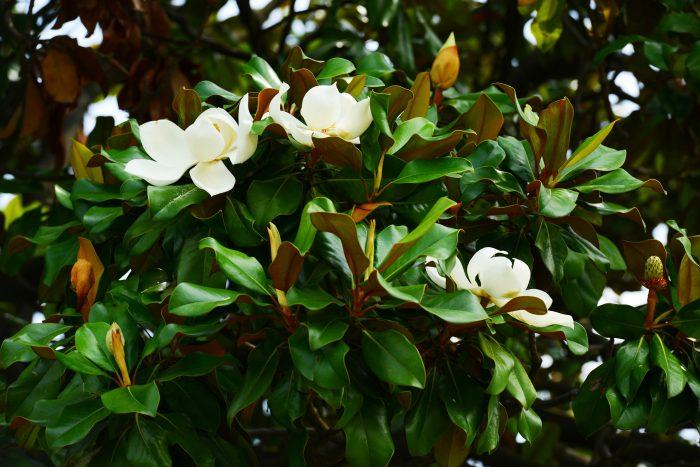 Florida magnolias - Stunning Bracken's Brown Beauty