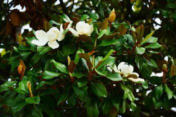 Florida Magnolias Beckon with Bracken's Brown Beauty