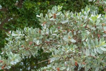 Silver Buttonwood Unbuttons Dark Florida Landscapes