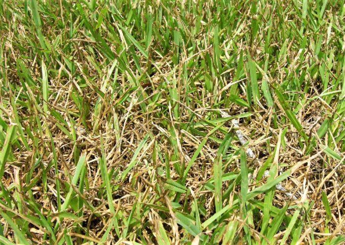 St. Augustine grass Gray Leaf Spot