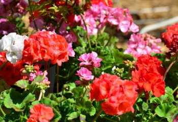 Florida Geraniums Planted in Wrong Months Finally Speak Up
