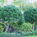 Ligustrum trees