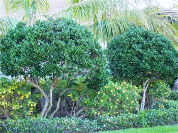 Ligustrum Trees Give You Everything and Then Some